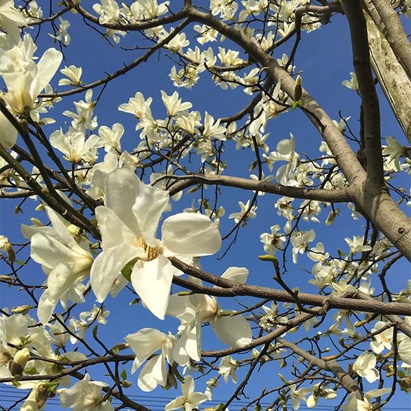 前回ご紹介した、米子市のショールームの前に咲く木蓮です。